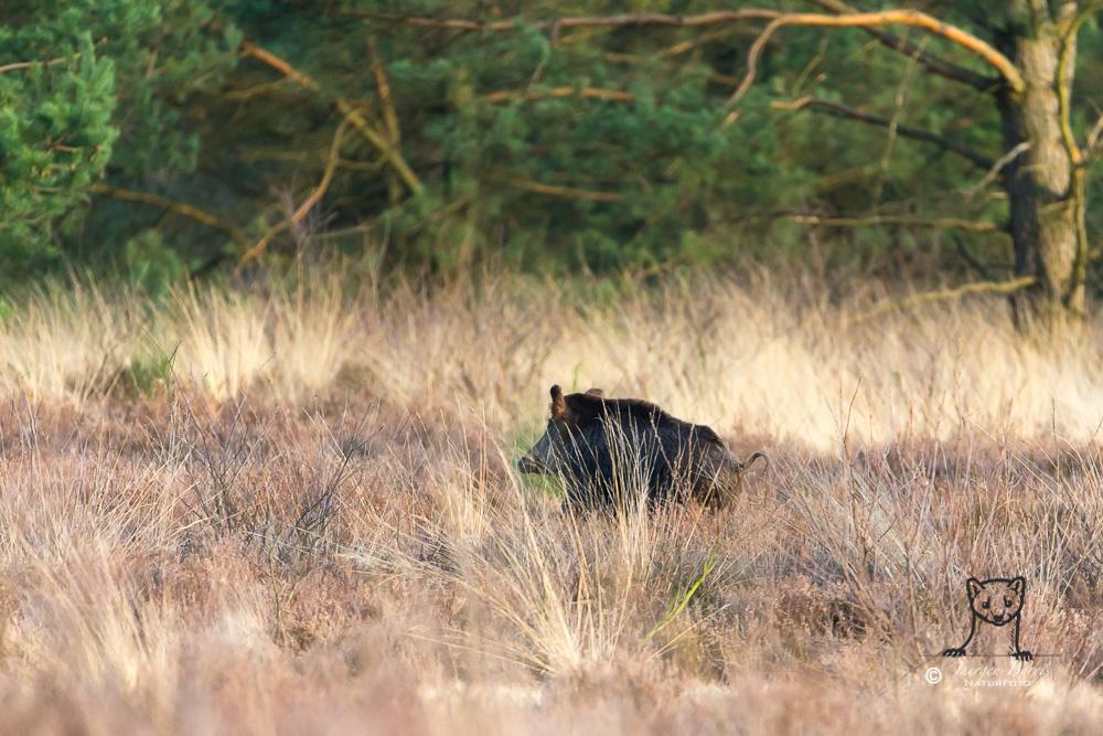 Wolfsrudel erbeutet Wildschwein-Frischlinge