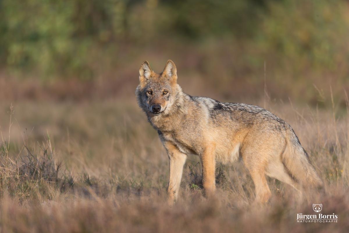 Wolfsbegegnung in der Lüneburger Heide